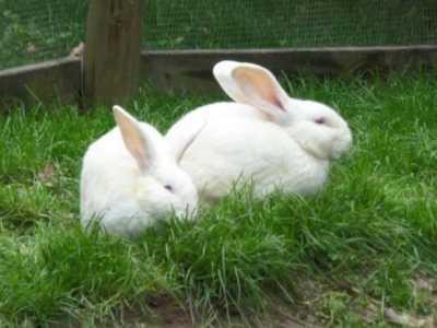 兔子是什么类 养兔子什么品种好